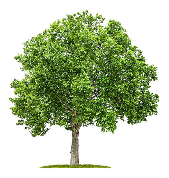 isolated plane tree on a white background stock photo