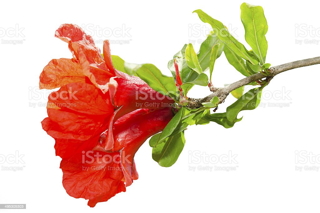 Isolated pomegranate spring blossom red flowers stock photo