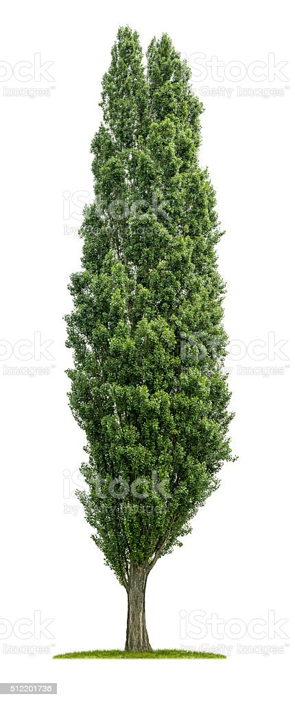 isolated poplar tree on a white background stock photo