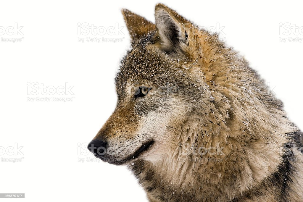 Isolated portrait of a wolf with white background stock photo
