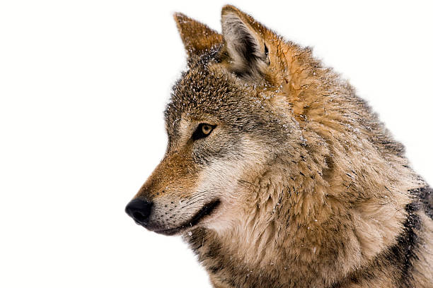 isolated portrait of a wolf with white background - gråvarg bildbanksfoton och bilder