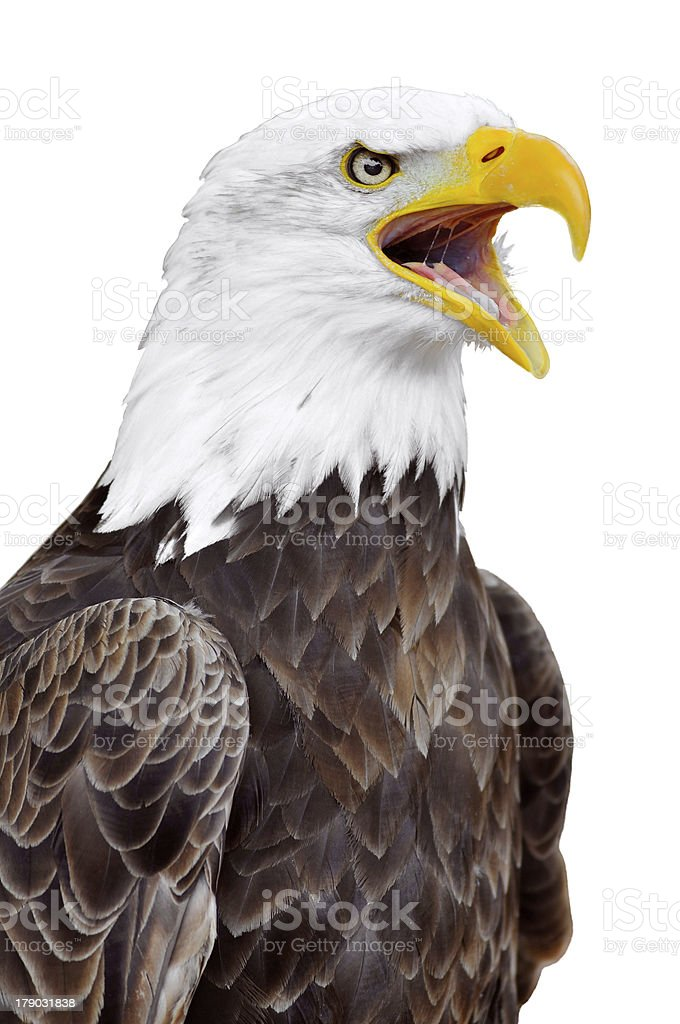 Isolated Portrait Of Bald Eagle Stock Photo & More Pictures of ...
