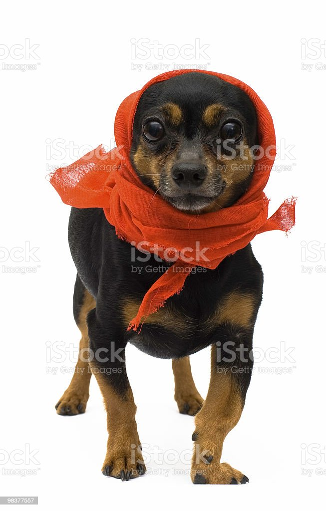 isolated portrait of funny dog royalty-free stock photo