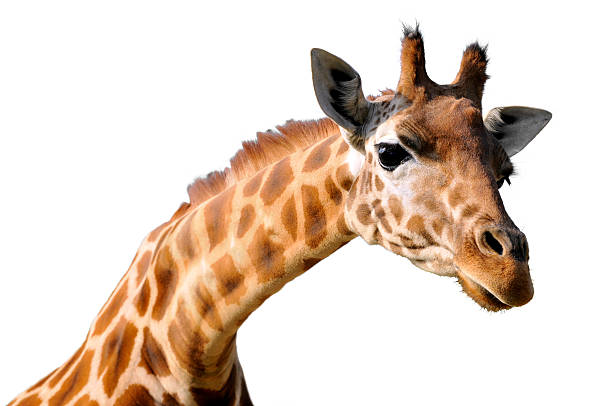 isolated portrait of giraffe - giraffe stock photos and pictures