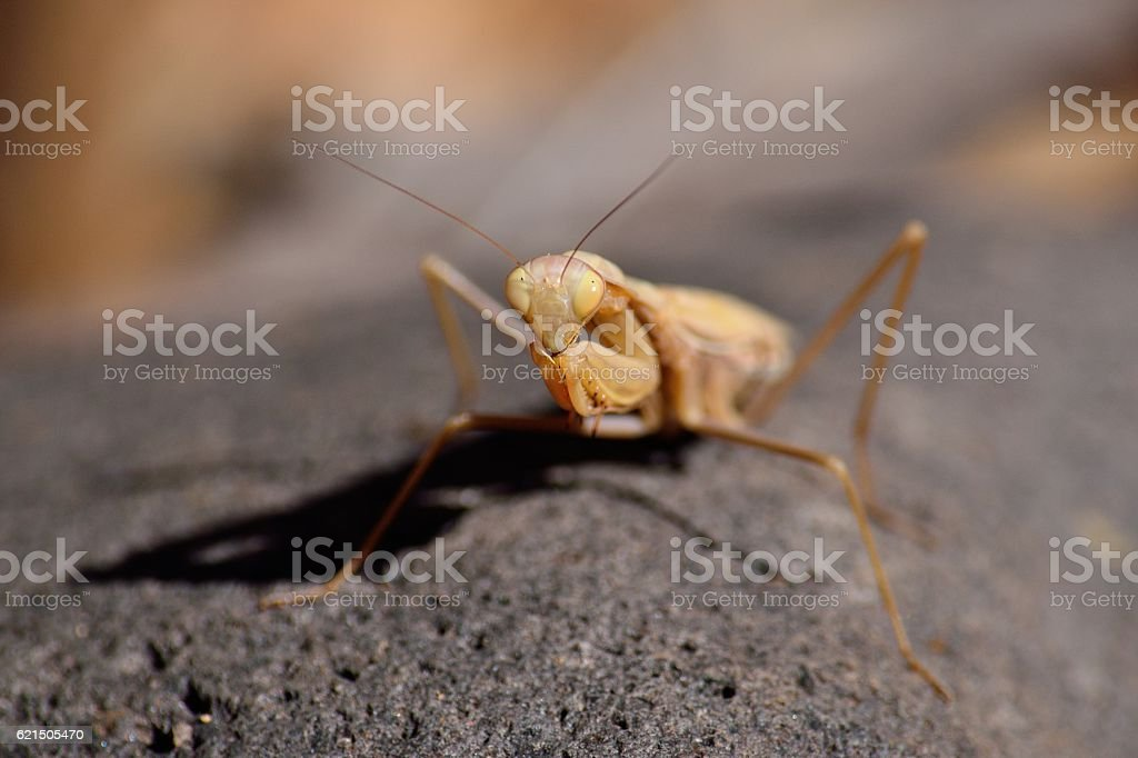 Isolated praying mantis photo libre de droits