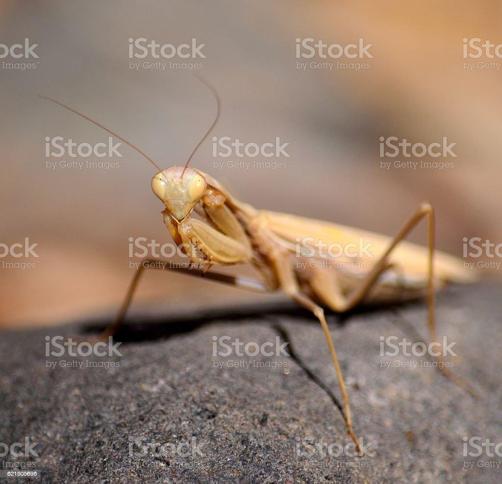 Isolated praying mantis foto stock royalty-free