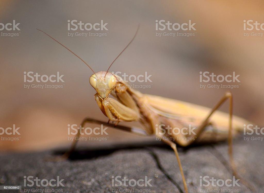 Isolated praying mantis Lizenzfreies stock-foto
