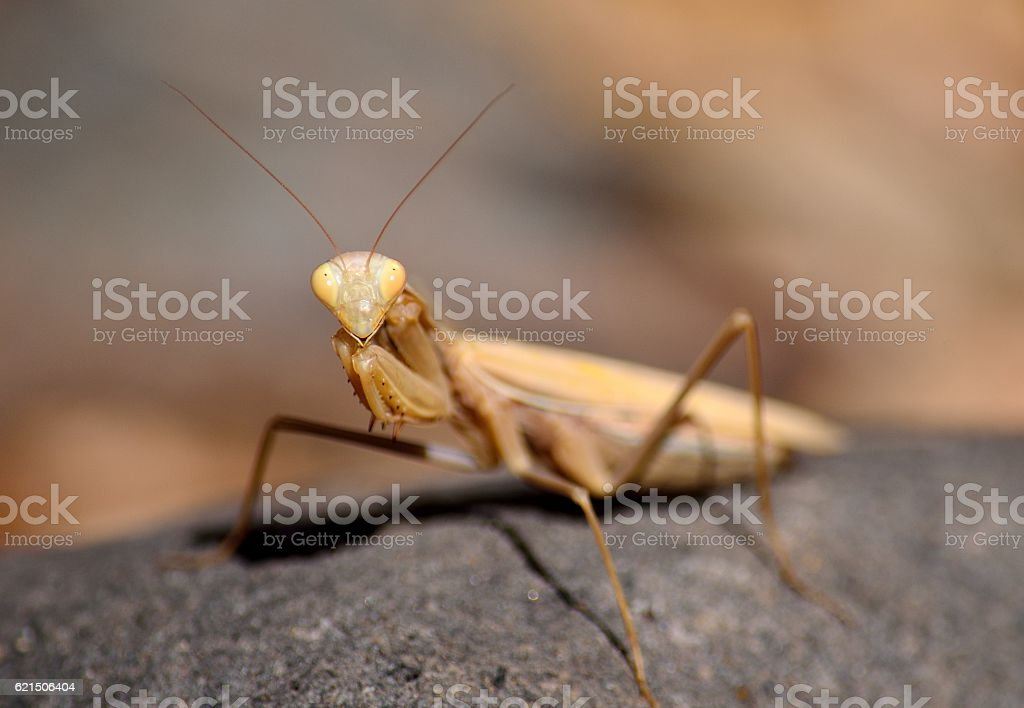 Isolated praying mantis photo libre de droits
