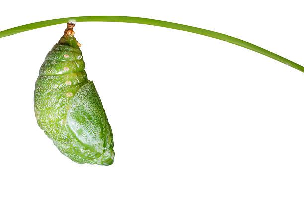럭셔리 컬렉션의 러기지 리에종은 격리됨에 pupa of 황갈색 나비 - 누에고치 뉴스 사진 이미지