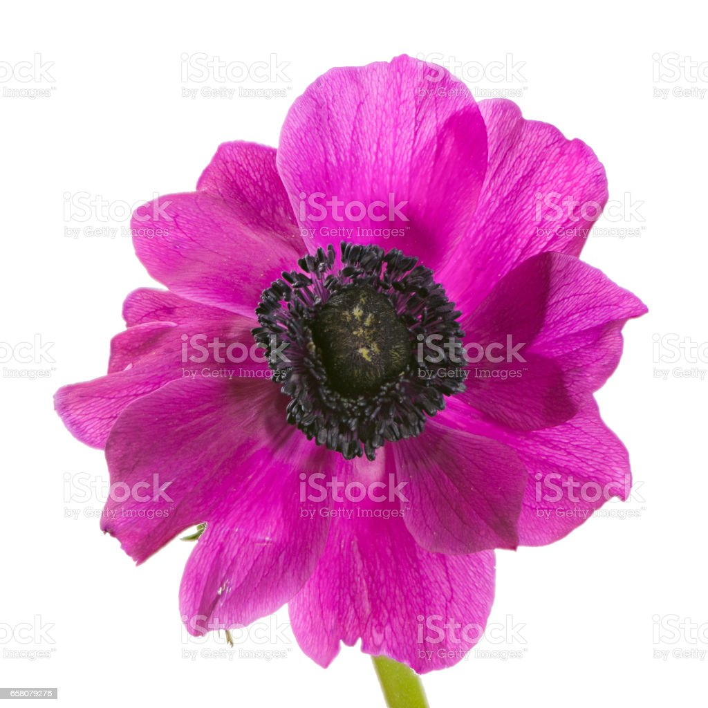 Isolated purple anemone flower blossom royalty-free stock photo
