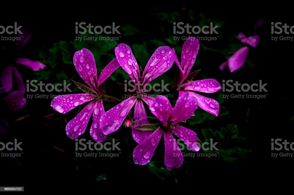 Isolated  purple geraniums on dark background zbiór zdjęć royalty-free