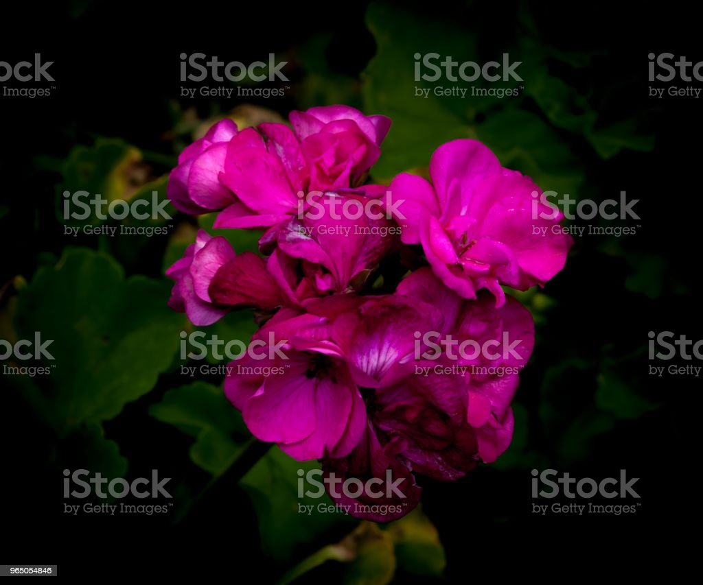 Isolated  purple geraniums on dark background zbiór zdjęć royalty-free