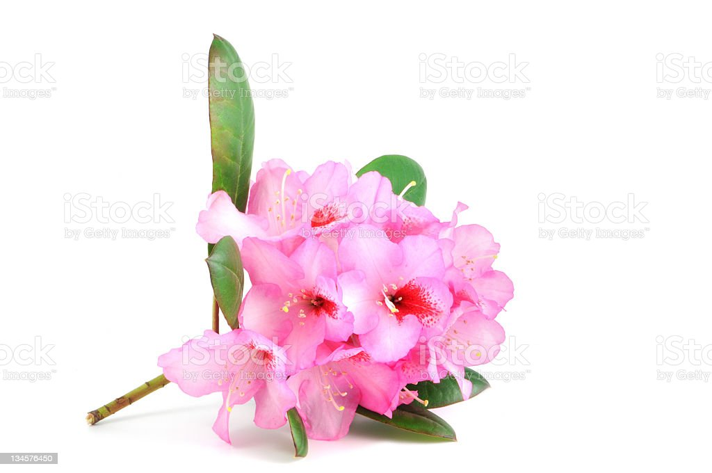 isolated purple Rhododendron royalty-free stock photo