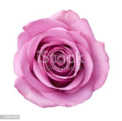 istock Isolated Purple Rose 173615934