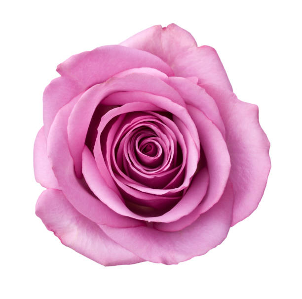 Isolated purple rose picture id173615934?b=1&k=6&m=173615934&s=612x612&w=0&h=bkz4fghvwt7ow  gpdguxobszn3qrwt1absz4k72eos=