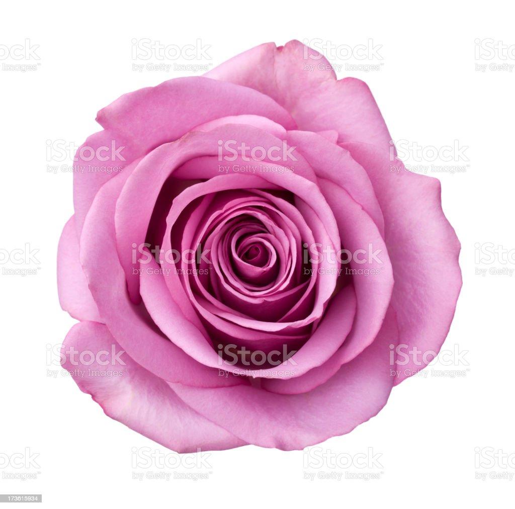 Rosa viola isolato - foto stock