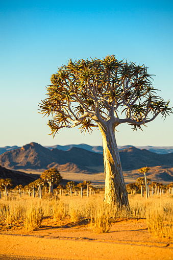 An isolated quiver tree against faraway mountain backdrop and dry landscape of the Northern Cape, South Africa, on the border with Namibia.