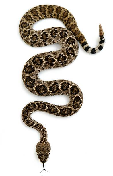 Isolated Rattlesnake stock photo