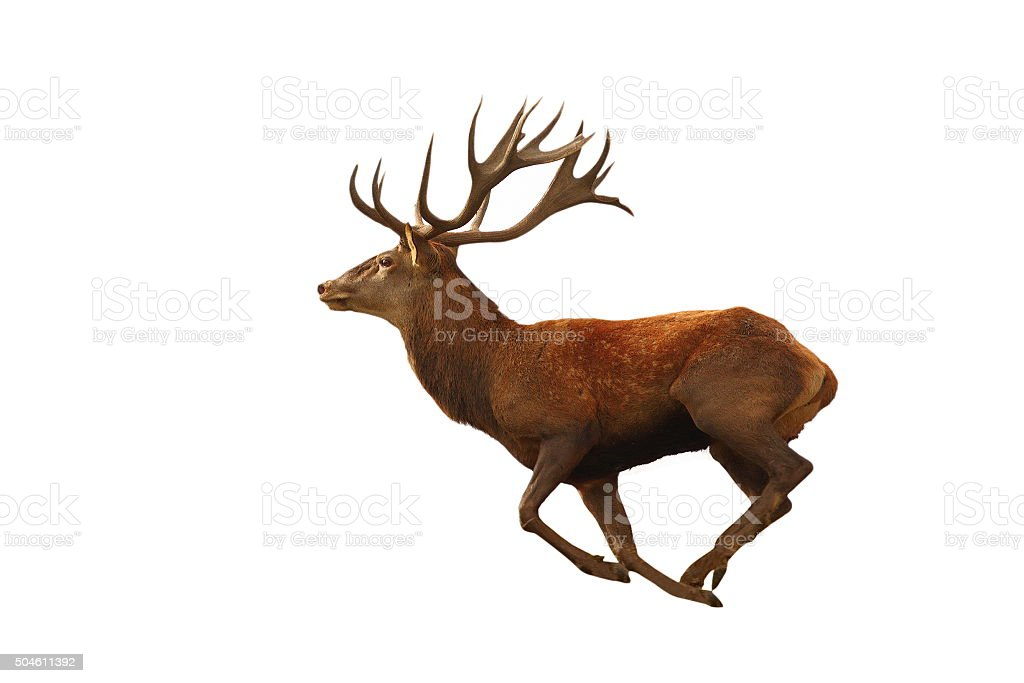isolated red deer running stock photo