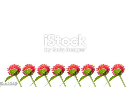 Isolated red flower. Gomphrena haageana strawberry fields. Red flowers in the sunrise.