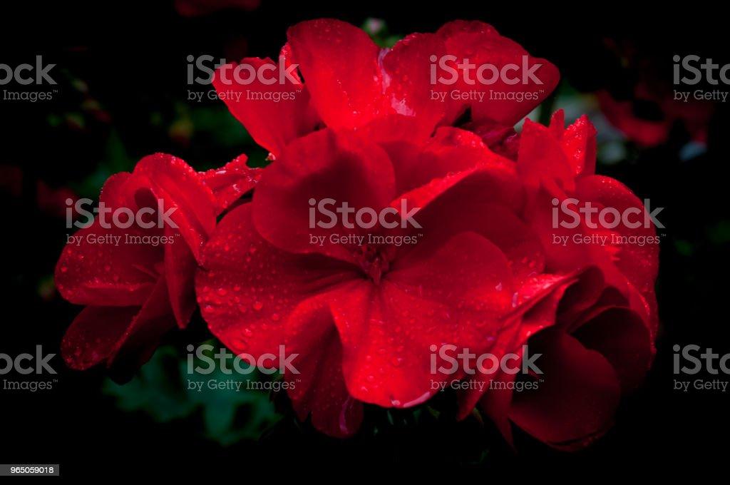 Isolated red geraniums on dark background zbiór zdjęć royalty-free