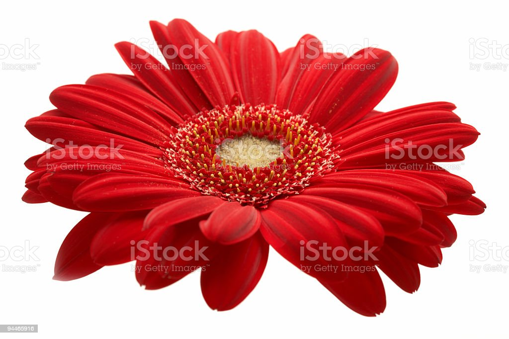 isolated red gerbera royalty-free stock photo