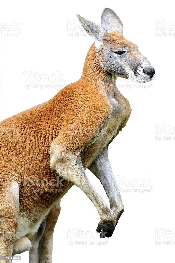 Isolated red kangaroo royalty-free stock photo
