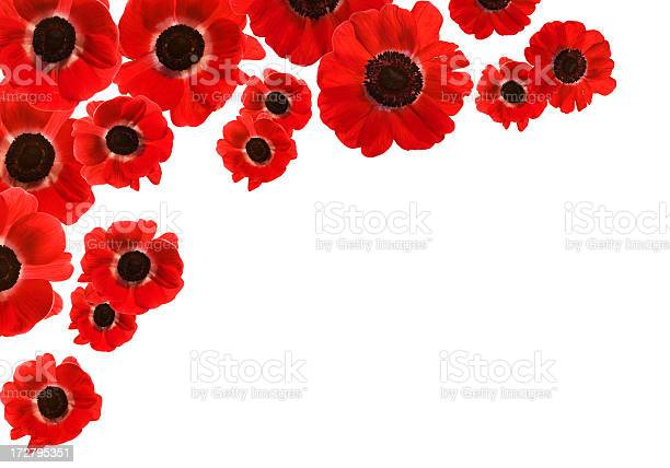 Isolated red poppies with copy space picture id172795351?b=1&k=6&m=172795351&s=612x612&h=fbssgyopl 3hb3rc0nosdtelkvjwxeevkadez74skk4=