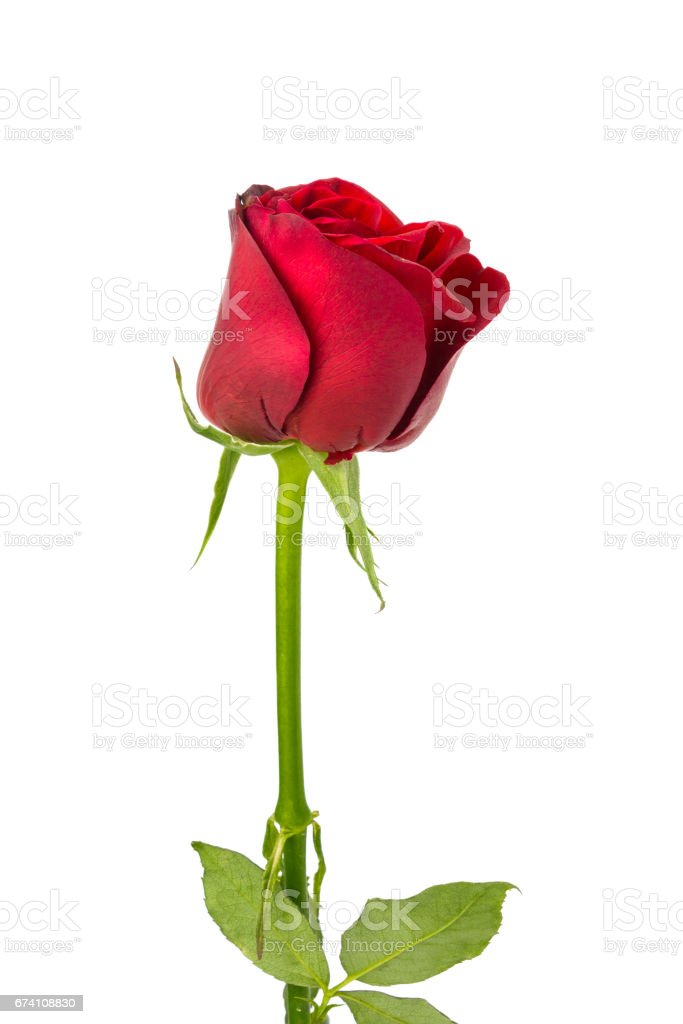 isolated red rose on white background royalty-free stock photo