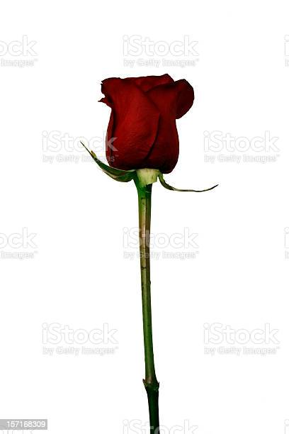 Isolated red rose picture id157168309?b=1&k=6&m=157168309&s=612x612&h=rkngyvuh4 s4nnw5u36vj3zbhiyvhfacxf9r dxuzae=