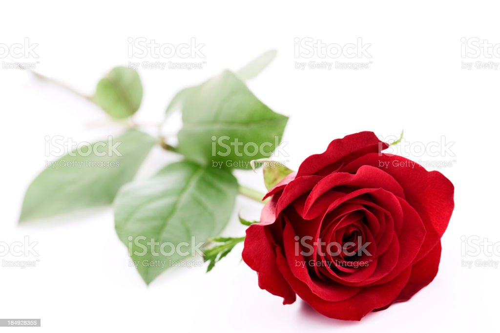 Isolated Red Rose royalty-free stock photo