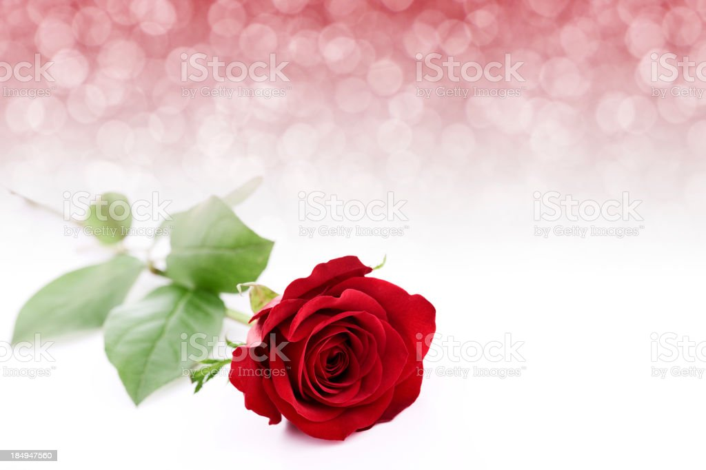 Isolated Red Rose stock photo