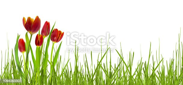 istock isolated red tulips in meadow on white 1094063302