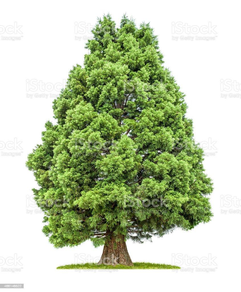 Isolierte redwood Baum auf einem weißen Hintergrund. – Foto