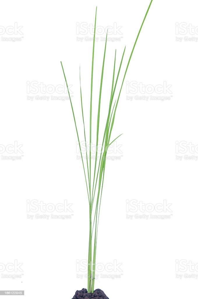 Isolated rice plant on white background stock photo