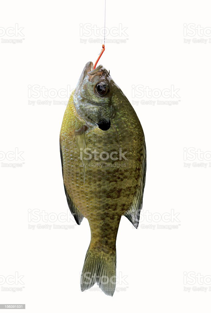 Isolated river fish on white stock photo