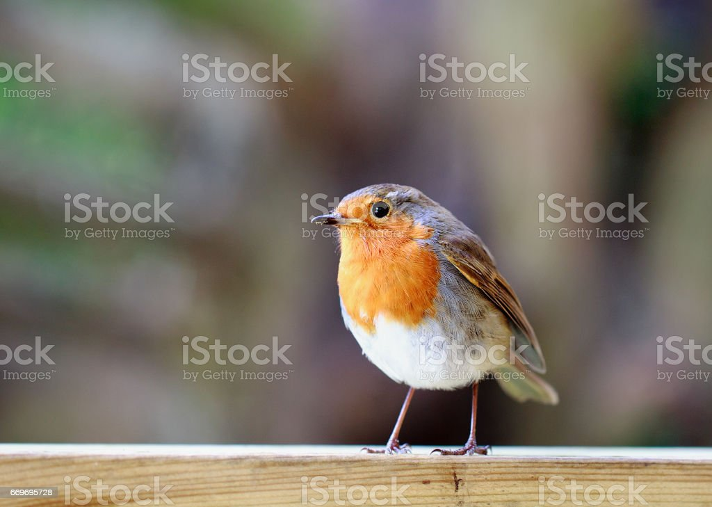 Isolated Robin Redbreast perched on a wooden fence stock photo