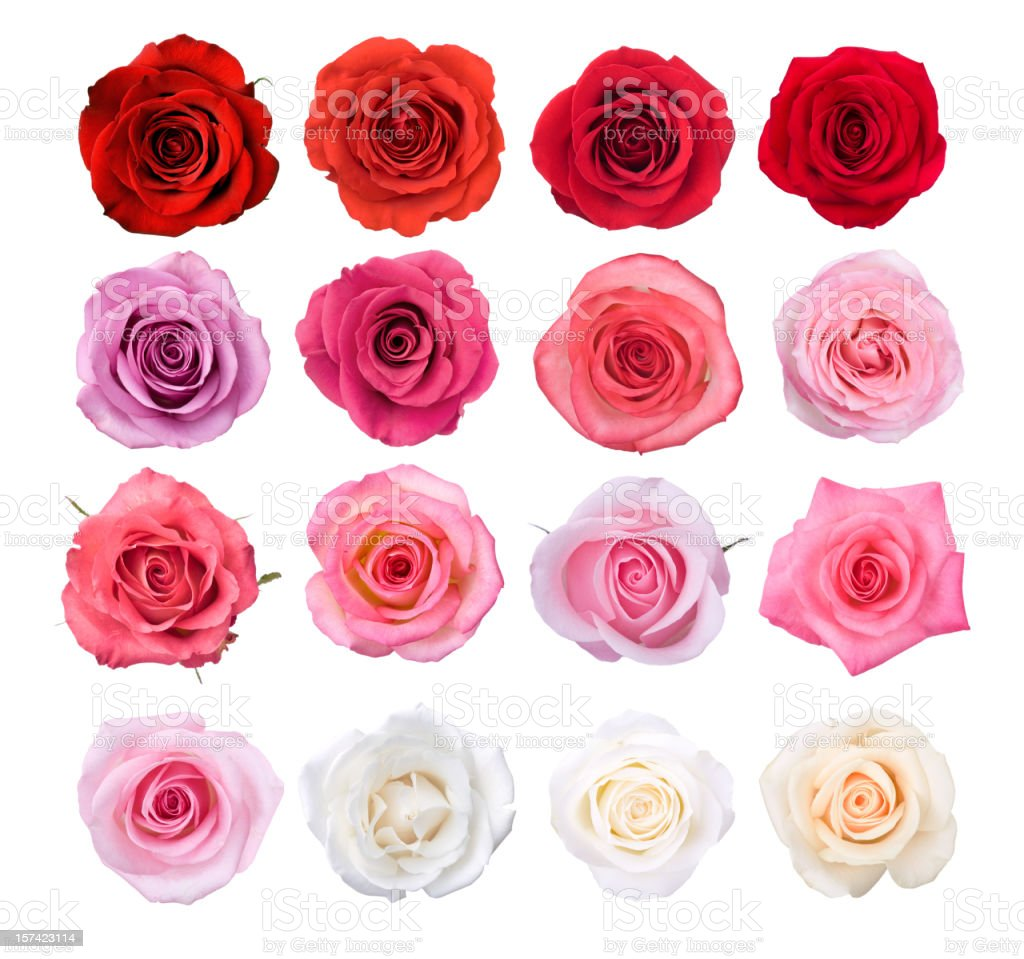 Isoliert Rose Blüten – Foto