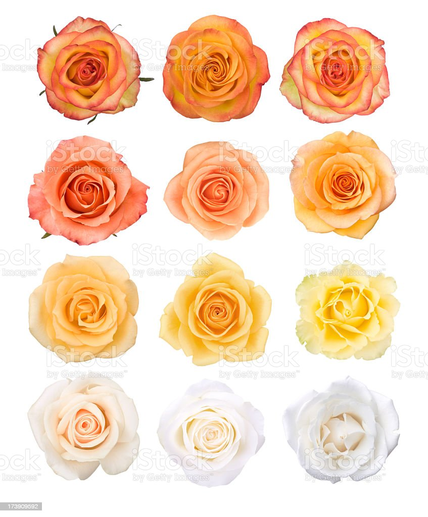 Isolated Rose Blossoms stock photo