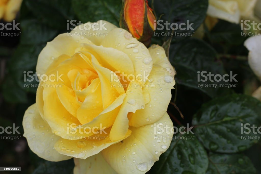 Isolated rose close up, Cork city, Ireland photo libre de droits