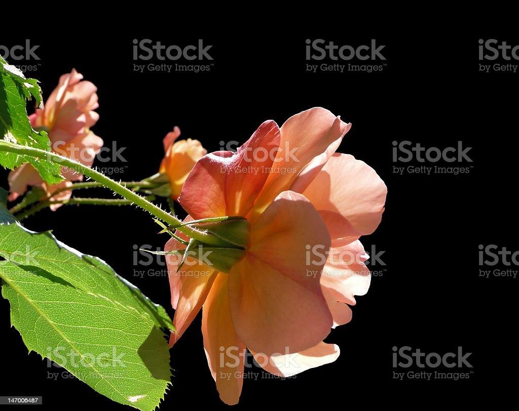 Isolated Rose Corner royalty-free stock photo