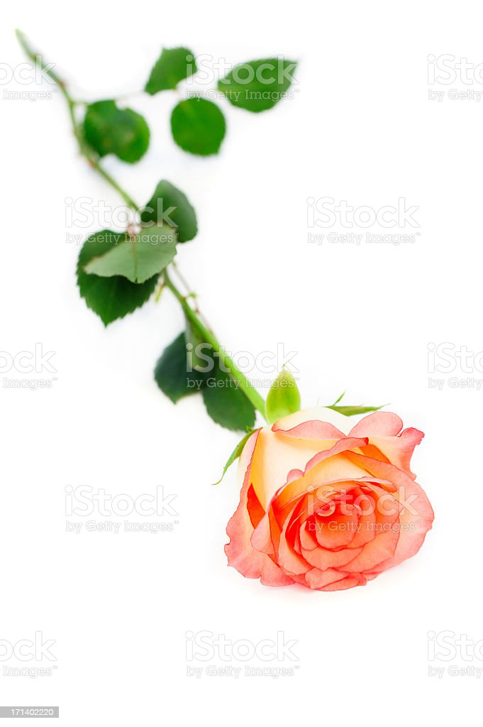isolated rose royalty-free stock photo