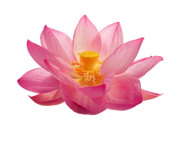 Isolierter heiliger Lotus – Foto