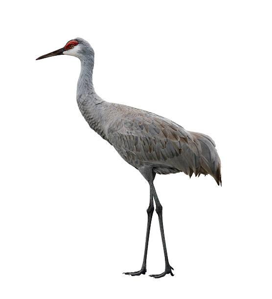Isolated Sandhill Crane Bird on a white background stock photo