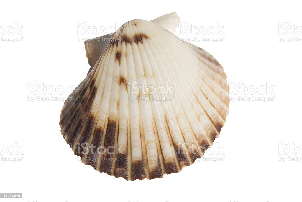 isolated seashell on white royalty-free stock photo