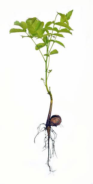 Isolated seedling of walnut tree, Juglans regia stock photo