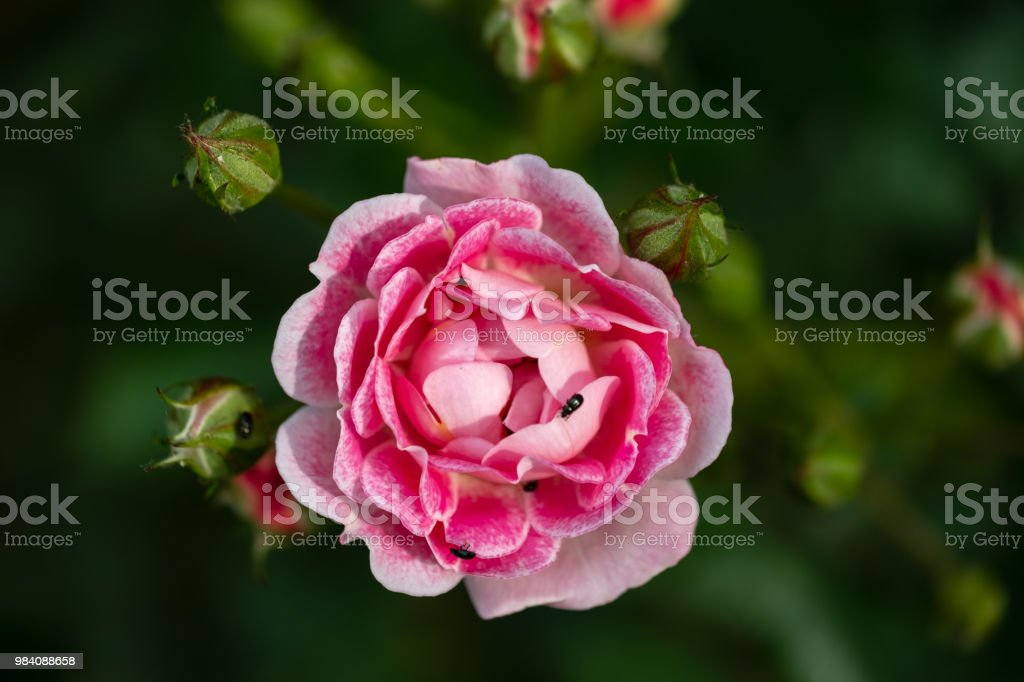 Isolated, shallow focus image of a pink rose shown near full bloom, together with surrounding rose buds. stock photo