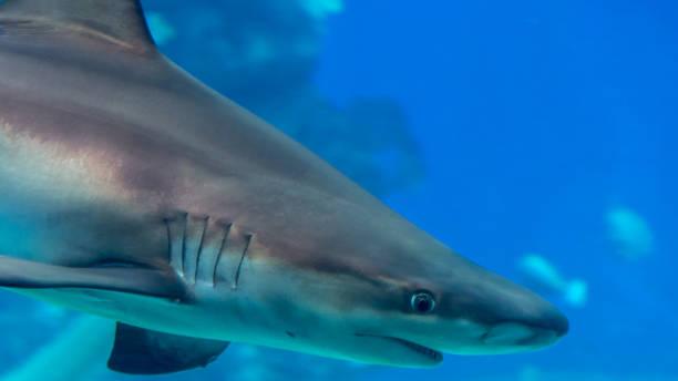 孤立鯊魚-紅海以色列圖像檔