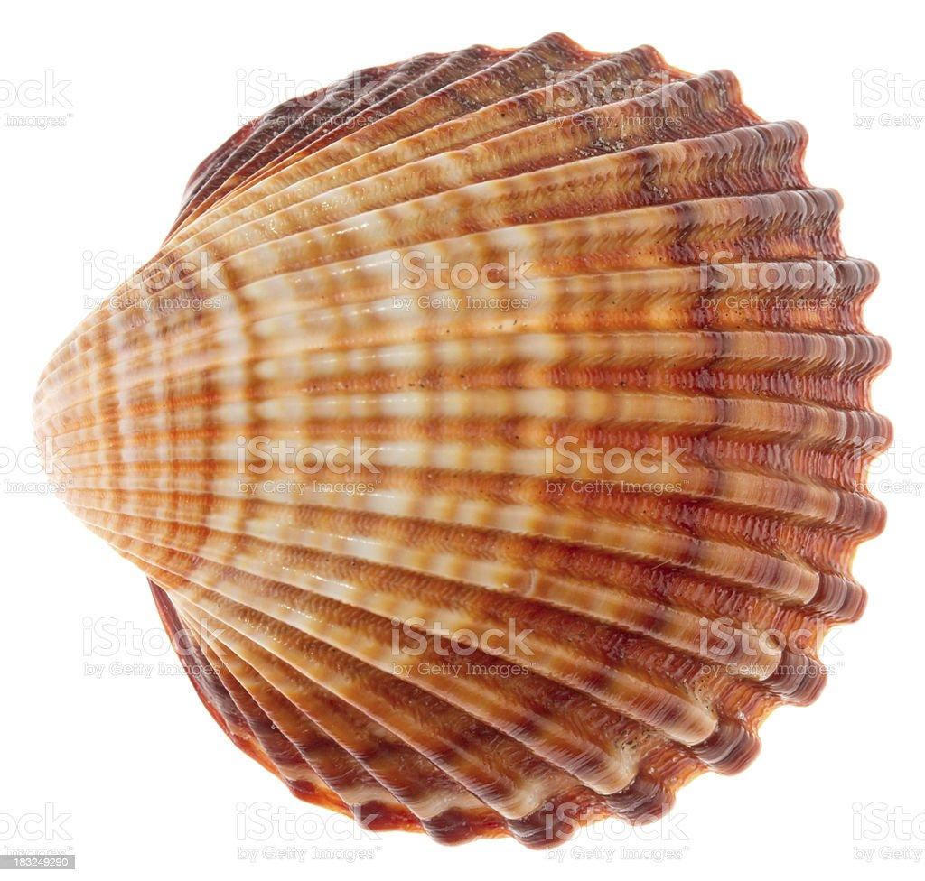 Isolated shell on white background royalty-free stock photo
