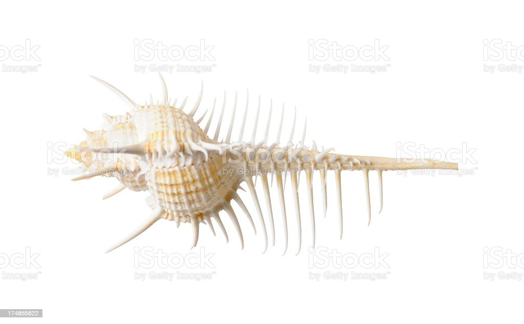 Isolated shot of a spiky seashell on white background royalty-free stock photo